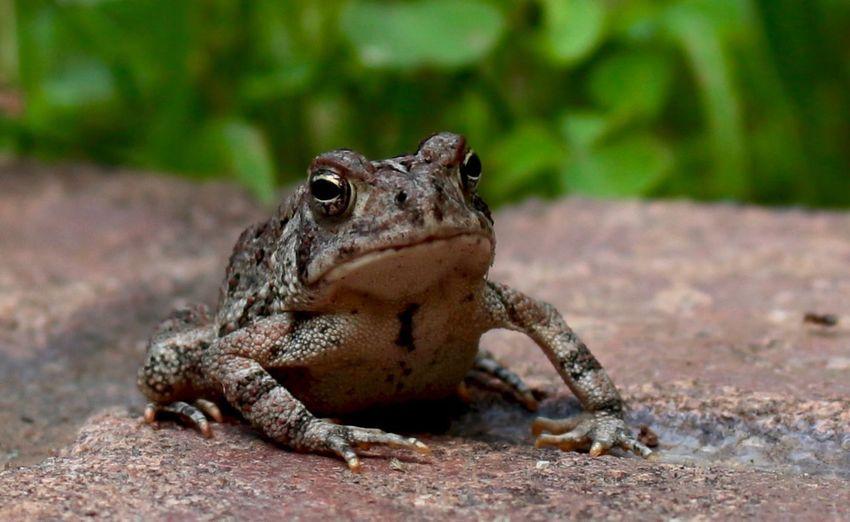 Frog Amphibia