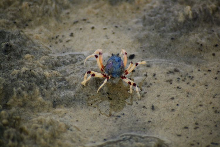 Animal Themes One Animal Animal Wildlife Animals In The Wild Animal Sand Crab Land Beach Sea Sea Life Marine Crustacean Day Nature Close-up No People Outdoors High Angle View Water