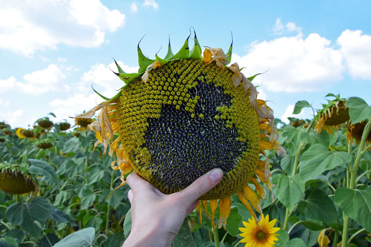 Close up of human hand holding sunflower in field Agriculture Beauty In Nature Close-up Cultivated Land Day Farming Field Flower Head Freshness Growth Harvest Holding Human Hand Nature One Person Outdoors Personal Perspective Real People Ripe Season  Seed Sky Summer Summertime Sunflower