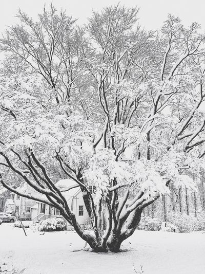 The tree down the street in its snowy glory!! Winter Winter Wonderland Snow Day Snow ❄ Snow New England  Connecticut Stratford CT Stratfordct Stratford Snow Storm Snowing ❄ Snowing Again Iphonephotography IPhoneography USA Snowy Trees Snowy Tree Blackandwhite Black And White Black & White Blackandwhite Photography Black&white