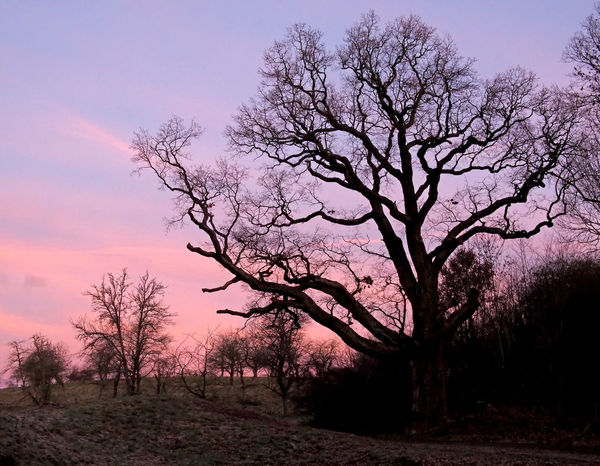 Alte Eiche mit Wurzeln aus dem 14.Jahrhundert / Old oak with roots from the 14th century Alte Eiche Bare Tree Beauty In Nature Best Shots Nature Day Eiche Landscape Luise  Morning Light Nature Nature No People Oak Old Oak Tree Old Tree Outdoors Sky Sunset Tranquil Scene Tree