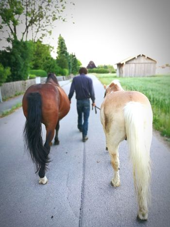 Domestic Animals Horse Agriculture Outdoors Day People One Man Only One Person Adult Men Horses Walking Alone... Walking For A Walk Out For A Walk Evening Walk Horseman Harmony In Harmony Trust