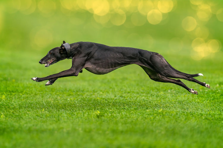 A greyhound completely lifted off the ground during the race. Animal Themes Close-up Day Dog Domestic Animals Full Length Grass Green Color Mammal Nature No People One Animal Outdoors Pets