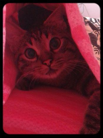 CoolCat Catsnap Cute Pet Cat