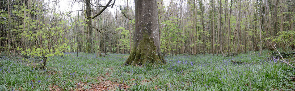 Bluebell season is starting Bluebell Wood Bluebells Day Flowers Forest Forest Floor Growth In The Forest Scenics Tree Tree Trunk