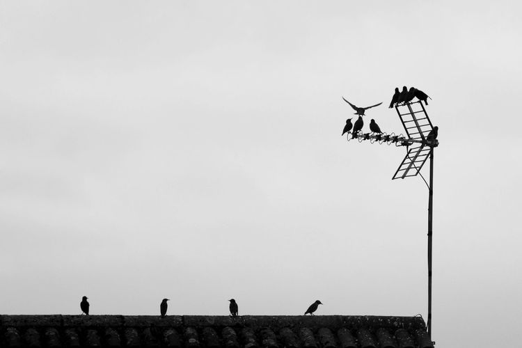 Birds Birds Of EyeEm  Birds Resting Birds_collection Black And White Black And White Photography Blackandwhite Blackandwhitephotography Day Nature No People Outdoors Roof Rooftop Rooftop View  Rooftops Sky Birds Of EyeEm  Bird Migration Bird Photography