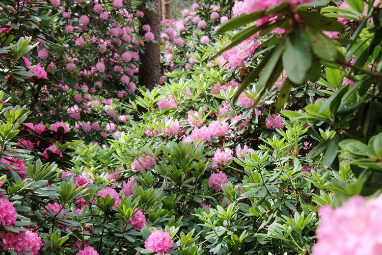 Growth Pink Color Flower Nature Plant Beauty In Nature No People Fragility Day Outdoors Freshness Close-up Botanical Garden Manyflowers Flowers Flowergarden Garden Flower Field Many Flowers Pink Flower Freshness Flower Head Summer Springtime Beauty In Nature