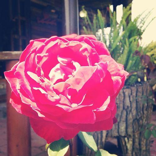 Una rosa rosa. Rosa Rosa Chiapas Chingon