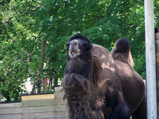 What day is it? Hump Day!! Adorable B Bactrian Camel Brown Camel Check This Out Close-up Day Daytime Desert Animal Funny Fur Coat Furry Hump Humpday Nature No People Outdoors Portrait Wildlife Zoo Zoology