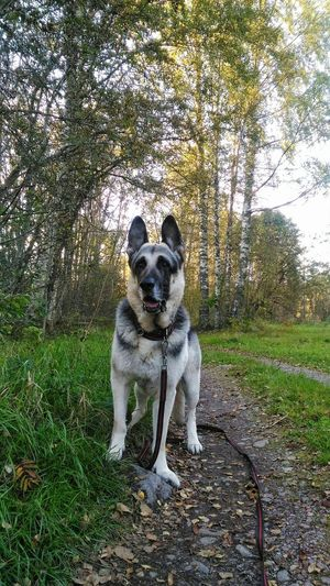Dog Animal Themes Pets One Animal Looking At Camera No People Shepherd EastEuropeanShepherd Shepherddog HomePet