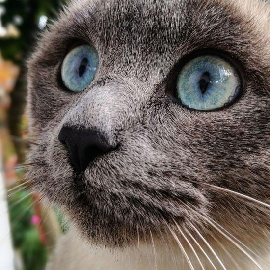 💙💙 One Animal Portrait Looking At Camera Animal Head  Animal Themes Animal Eye Animals In The Wild Cats Of EyeEm Cats Eyeblue
