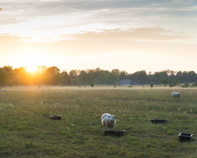 View of sheep on field during sunset