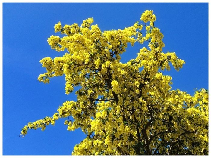 Low angle view of yellow flowering tree against blue sky