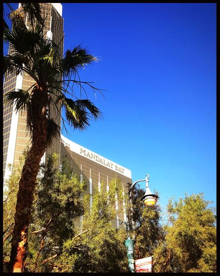 Tree Low Angle View Day Architecture Outdoors Clear Sky No People Sky Blue Growth Building Exterior Nature Mandalay Bay Hotel Las Vegas Mandalay Bay Resort & Casino