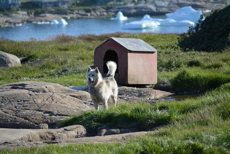 Ilulissat, Greenland - July, chained sled dog / husky in summer | sledge dogs / huskies, icebergs an dog house in the background Dog Love Husky Sled Dog Greenland Animal Working Animal Dog Summer Outdoors Scenery Tradition Day Sun Fleecy Fluffy Dogs Dogslife Iceberg Water Dog House Landscape Animal Themes Mammal Domestic Animals Chained