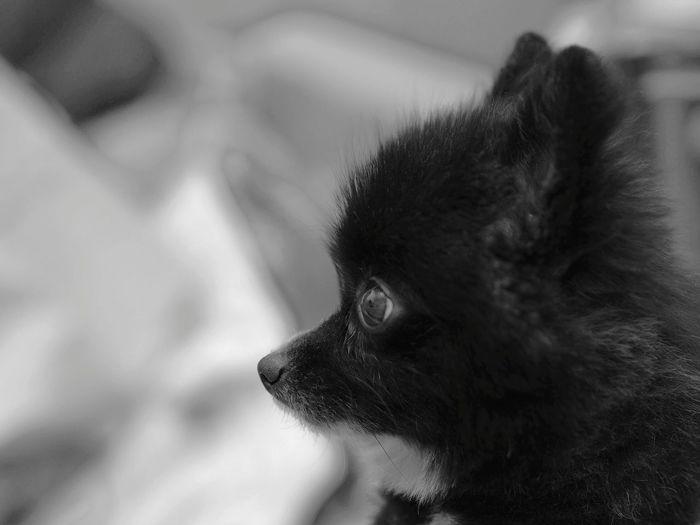 Pomeranian Close-up Domestic Animals The Dog Pet Pet Portraits