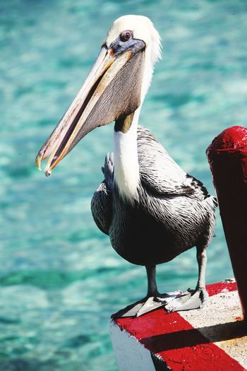 Pellicano Bird Water Beak Perching Close-up Pelican