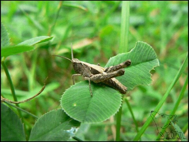кузнечик насекомое клевер трава лето насекомое