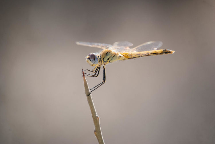Close-up of dragonfly perching on twig