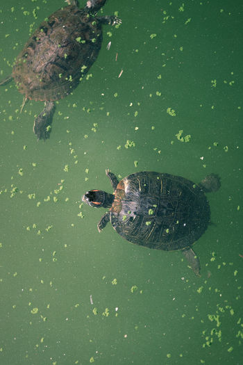 High angle view of turtle swimming in lake