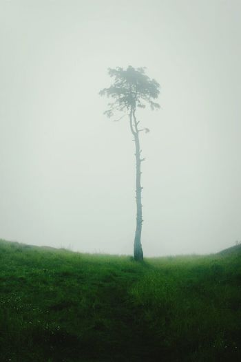 A Tree Fog Dieng Plateau INDONESIA
