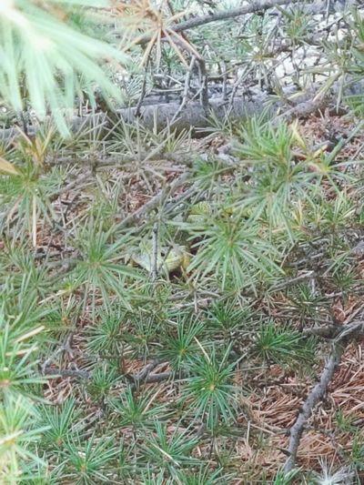Lizard Pine