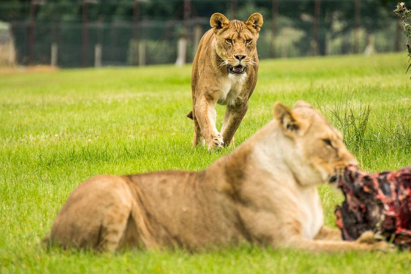 Lion lying on field