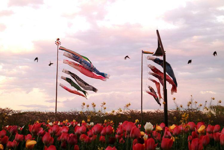 Carp Carpstreamers Fish Sky Cloud Sunset Sunsetclouds Bird Tulip Flower Flowergarden Tokyo Japan