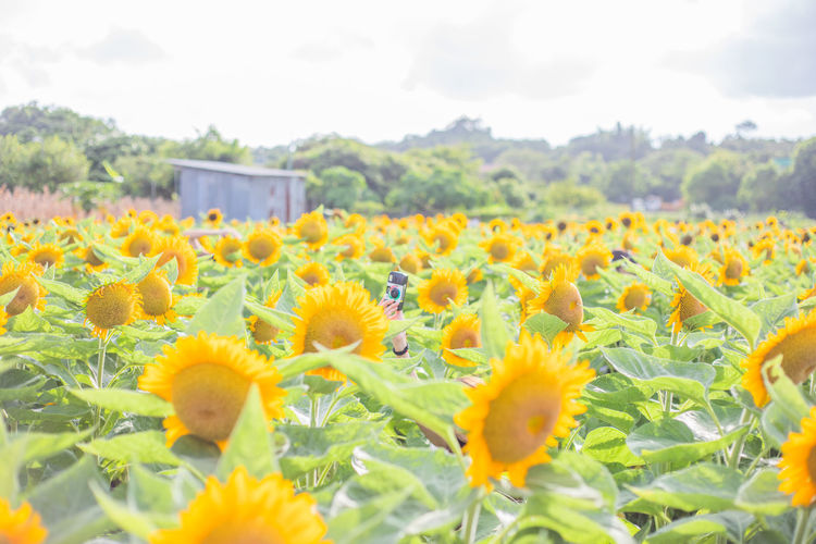Sunflowers in field against sky