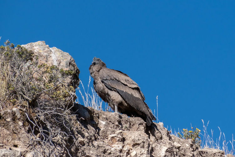 Low angle view of a juvenile andean condor vultur gryphus at the colca canyon, peru