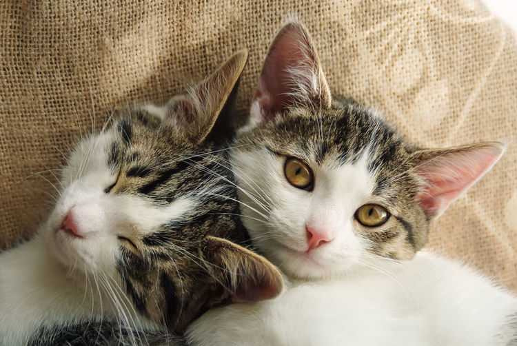 Two cute kittens, European Shorthair tabby white, both faces side by side Animal Themes Babycats Cat Cats Close-up Cosy Cuddle Cuddly Cute Domestic Cat European Shorthair Feline Friendship Frıends Headshot Kitten Kitty Lovely Pets Portrait Relaxation Sleepy Sleepyhead Tabby Cat Pet Portraits