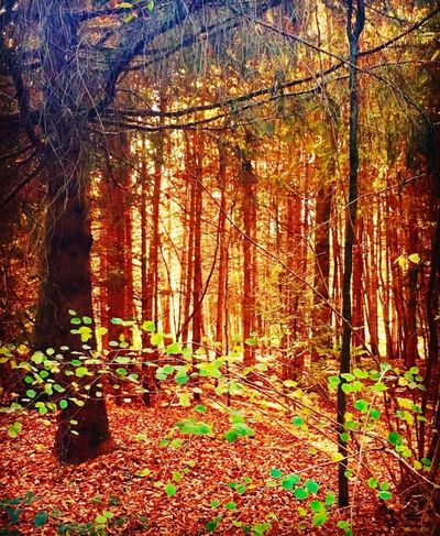 Autumn Nature Herbst Beauty In Nature Forest Tree Tranquil Scene WoodLand Outdoors Autumne Herbstfarben ColorsOfAutumn