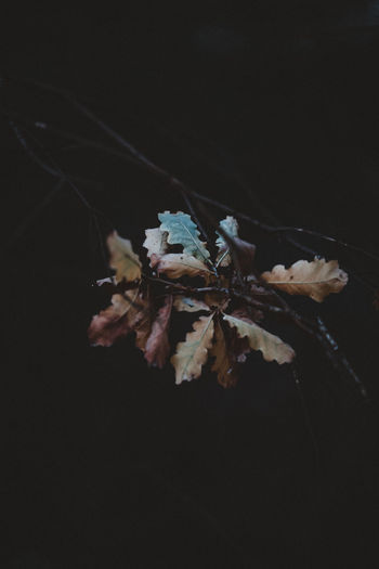 Dark, moody Autumna leaves Fragility Plant Vulnerability  Flower Flowering Plant Close-up No People Freshness Beauty In Nature Nature Petal Growth Wilted Plant Dry White Color Copy Space Flower Head Focus On Foreground Night Inflorescence Outdoors Black Background