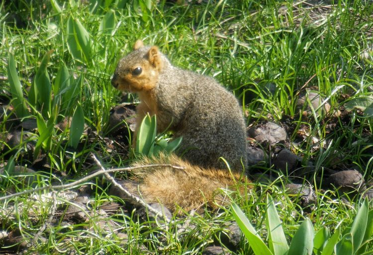 Indiana Nature Photography Wildlife & Nature Nikon Flowerporn Walnuts On The Ground Hungry Eating April2018 Squirrel Field Rodent Animal Themes Grass Close-up Plant Life
