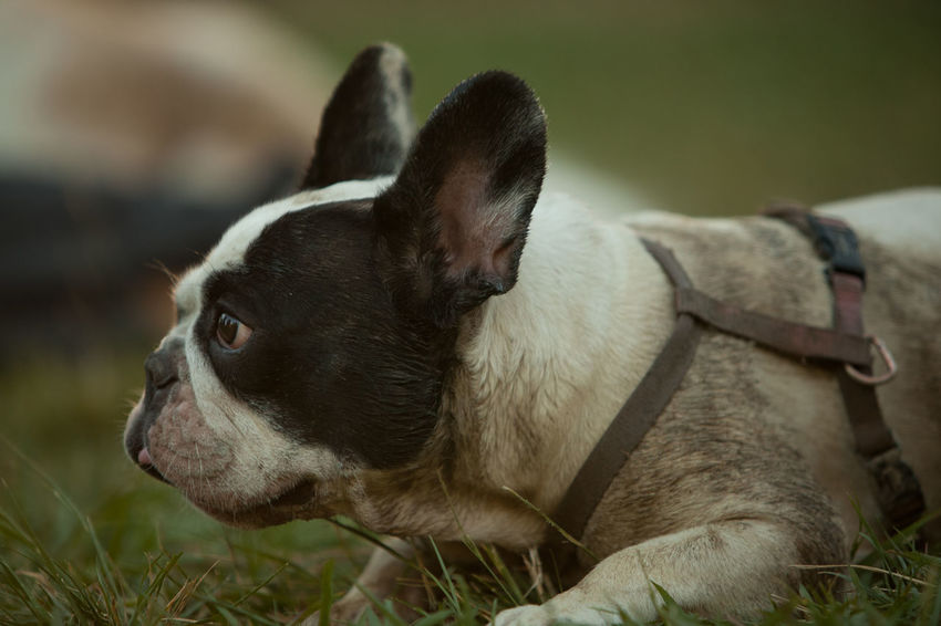 Bibi Animal Themes Boston Terrier Close-up Day Dog Domestic Animals Focus On Foreground Mammal No People One Animal Outdoors Pets