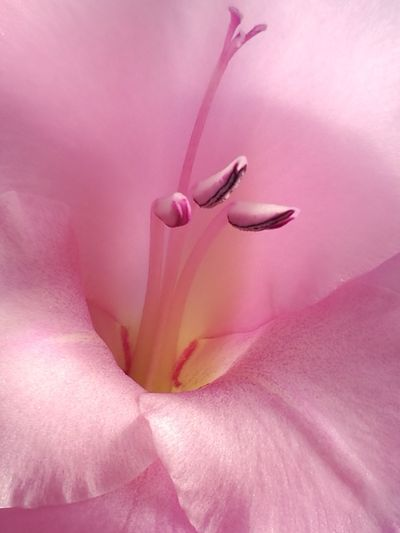 No People Gladiolus Background Flower Head Flower Backgrounds Pink Color Petal Full Frame Close-up Pistil Stamen In Bloom Pollen Botany