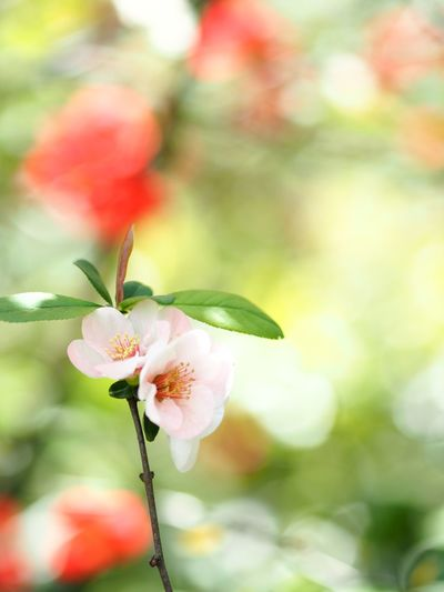 適材適所。 Olympus OM-D E-M5 Mk.II Japanese Quince Flower Flowering Plant Plant Fragility Vulnerability  Freshness Close-up Focus On Foreground Flower Head Pink Color Springtime