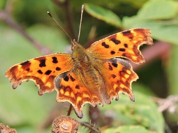 Nature Photography Wildlife Photography Wildlife & Nature Butterfly - Insect Butterflies Comma