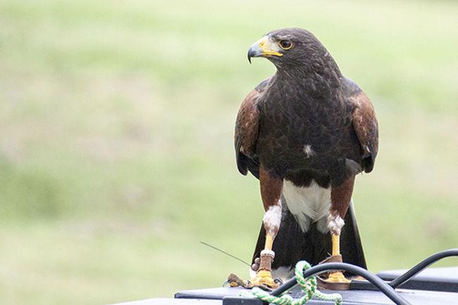 Bird Show Birds Of Prey Falconry Display Falcons