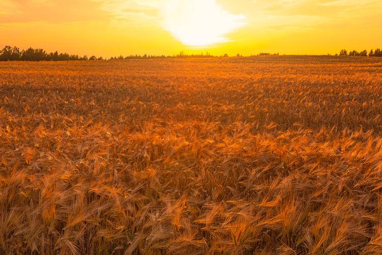 Dry wheat field