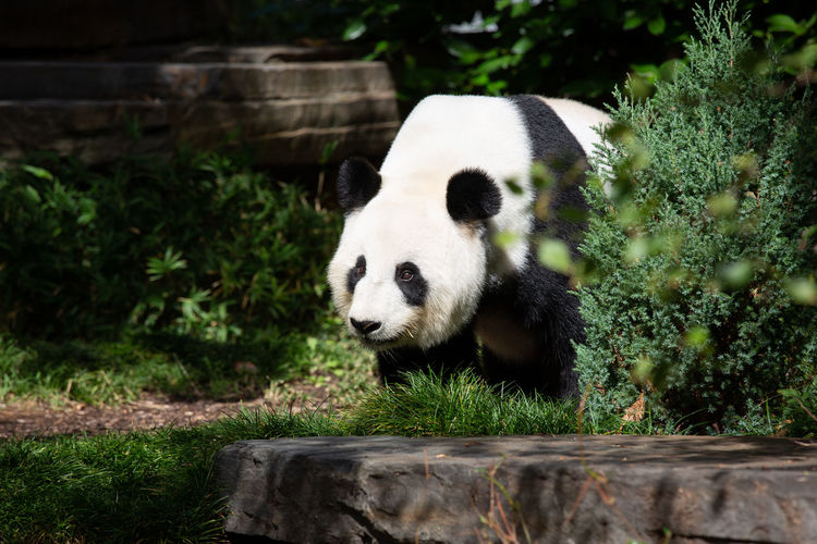 Animal Animal Themes One Animal Animal Wildlife Mammal Animals In The Wild Panda - Animal Vertebrate Plant Day Nature No People Zoo Endangered Species Bear Giant Panda Outdoors Looking Zoology Animal Head  Herbivorous Bamboo - Plant PANDA ♡♡