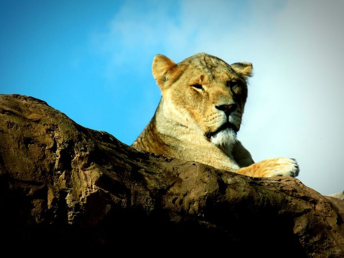 Lion - Feline Day Animals In The Wild Animal Wildlife No People Nature Outdoors Animal Themes Sky Mammal Safari Hello World Safari Animals Wild Animal Beauty Eye4photography  EyeEmBestPics Wildlifephotography Wildlife & Nature Close-up Lion Bright Colors Low Angle View Exsploring Wildlife Photos