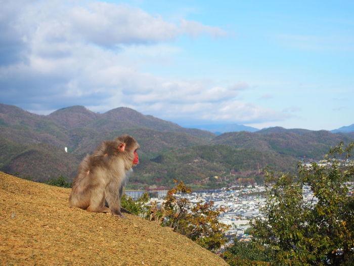 Monkey looking over kyoto from arashiyama