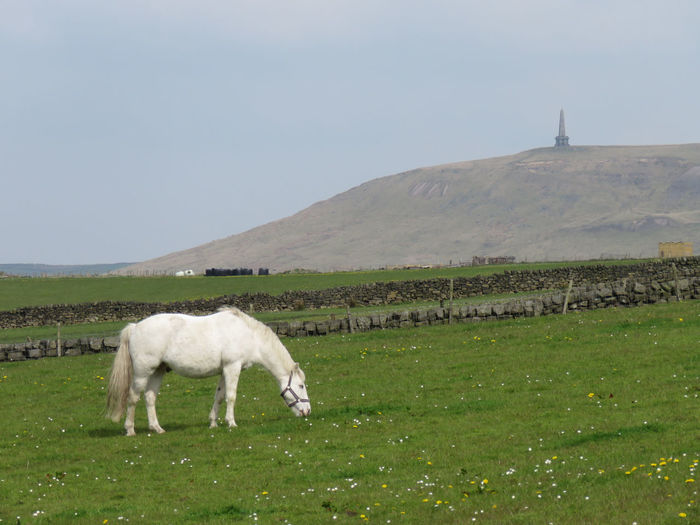 Animal Themes Beauty In Nature Calderdale Clear Sky Day Domestic Animals Field Flowers Full Length Grass Grazing Hill Horse Landscape Livestock Mammal Monument Nature No People One Animal Outdoors Scenics Spring Standing Stoodley Pike