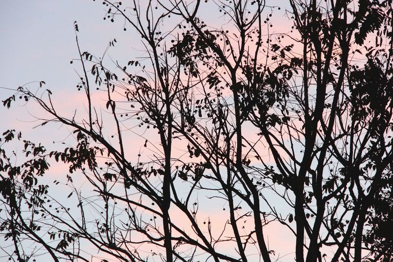 Black Silhouette of Tree on Blue Sky with Pink Clouds