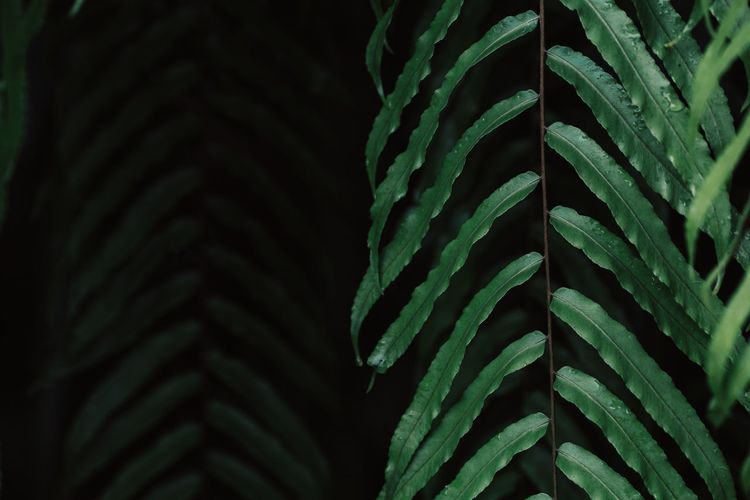 Green fern leaves, long leaves in nature green. Dark Backgrounds Beauty In Nature Close-up Fern Ferns Focus On Foreground Full Frame Green Color Growth Indoors  Leaf Nature Night No People Pattern Plant Plant Part Rope Selective Focus Strength Textured