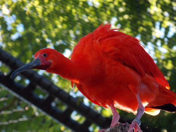 Red Ibis Bird Photographie Zoo Animals  Birds_collection