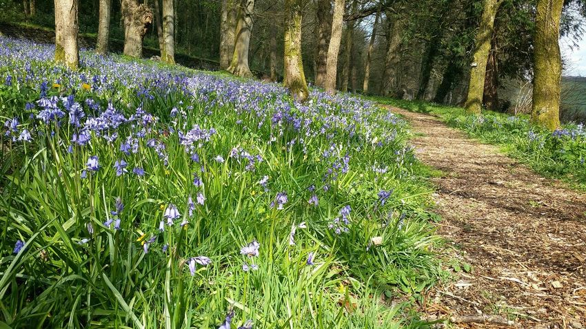 Bluebell Path Path To Spring Spring 2016 Nature Photography Nature Woodland Walk Landscape Bluebells