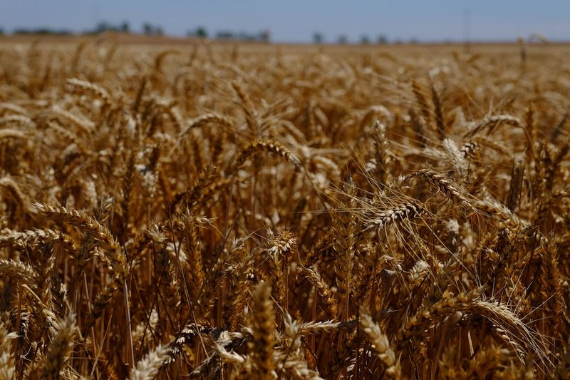 Field Land Growth Landscape Crop  Plant Agriculture Beauty In Nature Nature Farm No People Scenics - Nature Cereal Plant Day Wheat