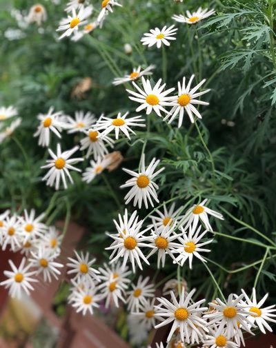 Flowering Plant Flower Freshness Plant Fragility Vulnerability  Beauty In Nature Petal Flower Head Growth Inflorescence Close-up Day Daisy Nature White Color No People Pollen